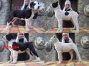VIP щенки Среднеазиатской овчарки