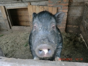 Продажа вьетнамских свиней