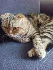 Шотландский вислоухий котик приглашает на вязку